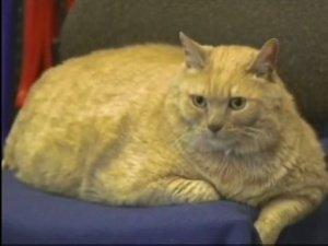 31 Pound Cat Vancouver