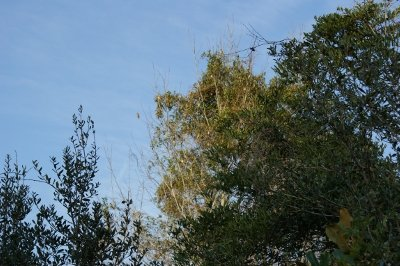 This tree was filled with cedar waxwings several days in a row.