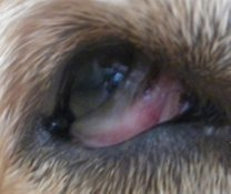 Sara has a corneal ulcer, which is known to be extremely painful.