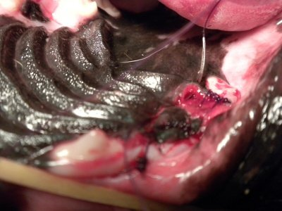 After removing two diseased teeth we suture Richie's defects closed.