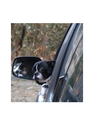 Pets must NOT be in drivers' laps when traveling!
