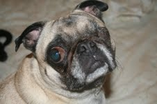 Gidget has had her share of experience with corneal ulcers, as many pugs do.