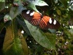 A beautiful butterfly in the Butterflies In Flight exhibit.