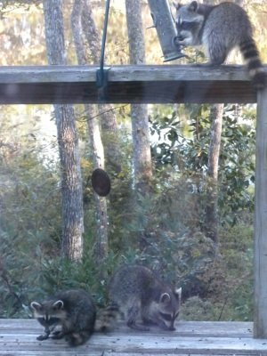 Raccoons habituated to seeds appearing daily