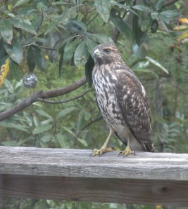 This hungry hawk was looking for an easy songbird meal.