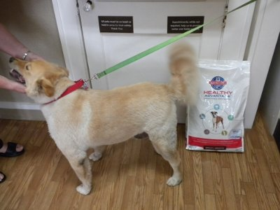Bailey waits to pay for his Hill's Healthy Advantage for Adult Dogs.