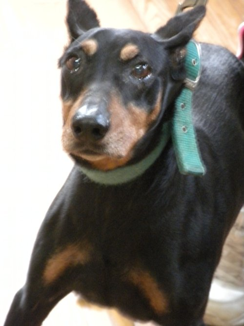 Sheba might not have seen tomorrow if she had not had a heartworm test today
