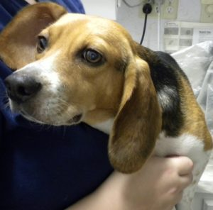Annie is shy, but sweet.  Her Beagle beauty and her need for heartworm treatment made Lucy's dad pick her.