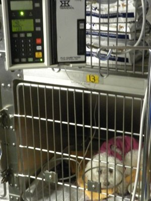 Pearl patiently gets IV fluid therapy as her kidney failure worsens.