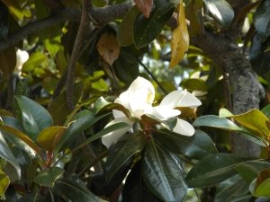 A mature magnolia flower (another in the background), treats for the eyes.