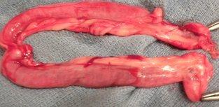 Cinnamon's uterus is dramatically enlarged.