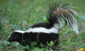De-stinking Your Pet After A Skunk Encounter