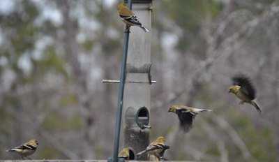 American goldfinches flock to our backyard feeder during migration.