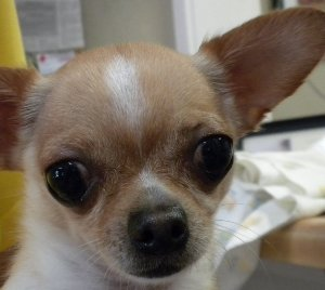 Chihuahuas have a high body-surface-area to weight ratio.