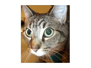 Struvite crystals often complicate urinary tract infection in cats