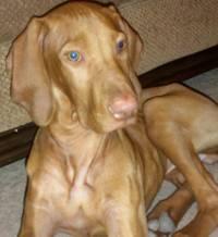 Meclizine Dosage For Dogs With Vestibular Disease