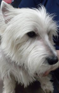 Isn't Sam a beautiful specimen of a West Highland White Terrier?  It wasn't always so.