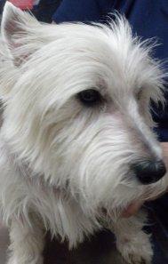 Isn't Sam a beautiful specimen of a West Highland White Terrier?  It wasn't always so.
