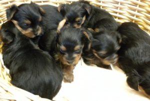 Bella's beautiful Yorkshire Terrier Puppies